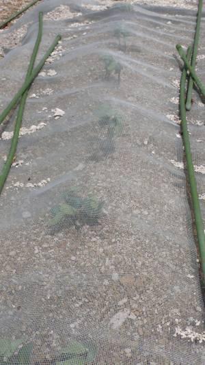 だだ茶豆の発芽