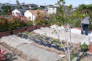 植え付けと水やり