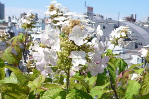 柏葉紫陽花スノークィーン