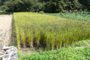 古代米・赤米