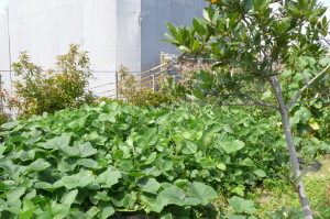 今の屋上菜園1
