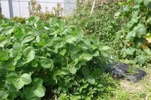今の屋上菜園2