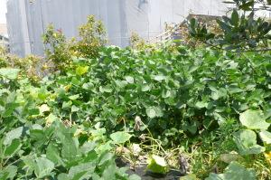 最近の屋上菜園