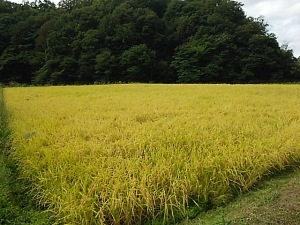 豊岡稲刈り1