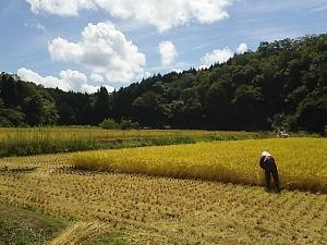 豊岡稲刈り8