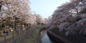 善福寺川の桜1