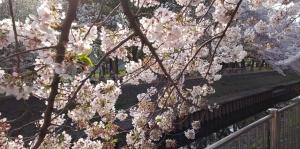 善福寺川の桜2
