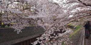 善福寺川の桜3
